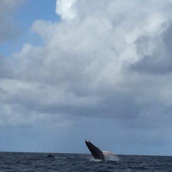 Wal vor Trinidad beim Mitsegeln
